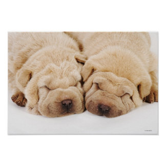 Two Shar Pei puppies sleeping Poster