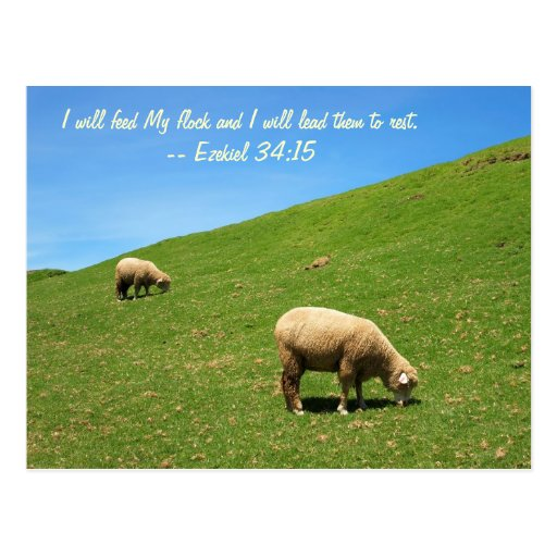 Two Sheep are Grazing Peacefully Postcard