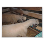 Two Sheep Eating Art Photo