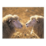 Two Sheep Postcard