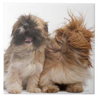 Two Shih-Tzus in the wind Large Square Tile