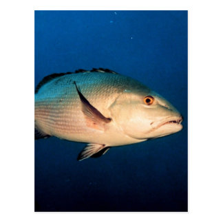Two Spot Red Snapper Postcard