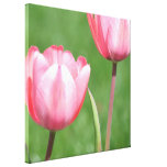 Two Spring Pink Tulips Stretched Canvas Prints