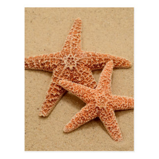 Two Sugar Starfish Postcard