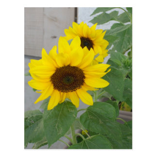 Two sunflowers postcard