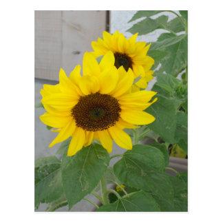 Two sunflowers postcard