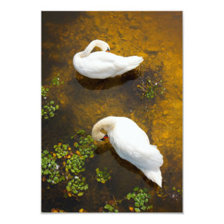 Two swans with sun reflection on shallow water. card