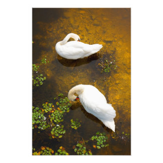 Two swans with sun reflection on shallow water photographic print