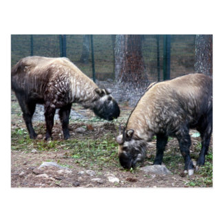 two takin post cards
