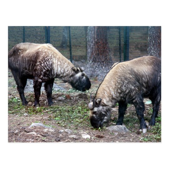 two takin postcard