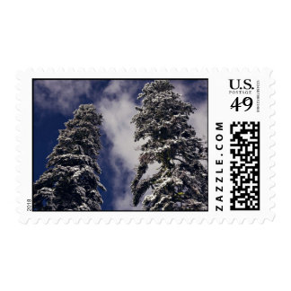 Two tall evergreens and the blue sky stamp