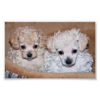 Two Tan Toy Poodle Puppies Poster
