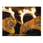 Two tigers leaping through burning rings of fire postcard