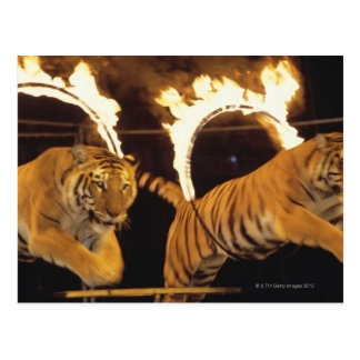 Two tigers leaping through burning rings of fire post card