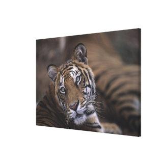 Two tigers (Panthera tigris) lying down, 2 Canvas Print