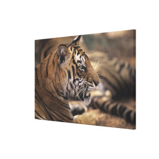 Two tigers (Panthera tigris) lying down, Canvas Print