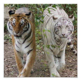 TWO TIGERS STRUTTING- WHITE AND BENGAL POSTER