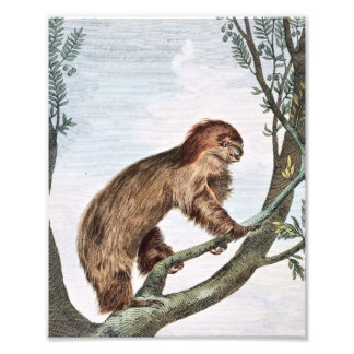 Two Toed Sloth Photograph