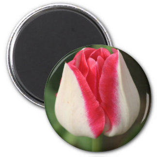 Two Tone Pink And White Tulip 2 Inch Round Magnet