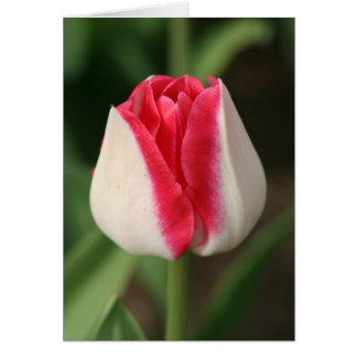 Two Tone Pink And White Tulip Card
