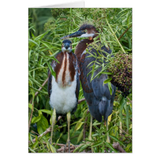 Two Tricolored Heron Chicks Card