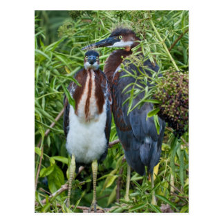 Two Tricolored Heron Chicks Postcard