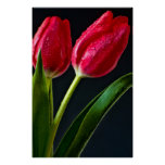 Two Tulips Posters