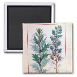 Two varieties of Artemesia 2 Inch Square Magnet