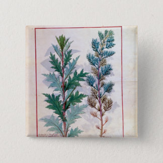 Two varieties of Artemesia Button