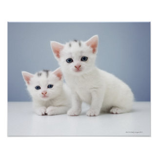 Two very young white kittens stare inquisitively poster