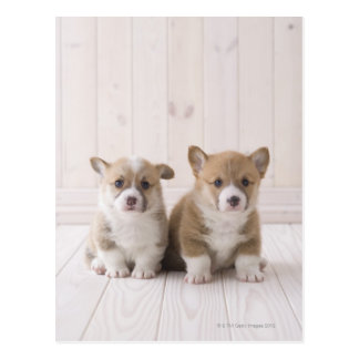 Two Welsh Corgi Sitting Postcard