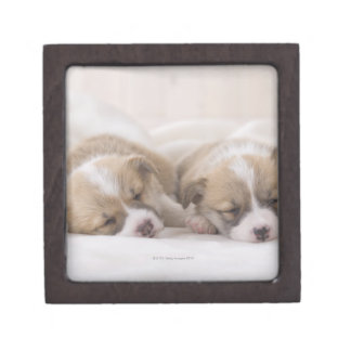 Two Welsh Corgi Sleeping Jewelry Box