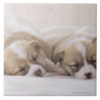Two Welsh Corgi Sleeping Tile