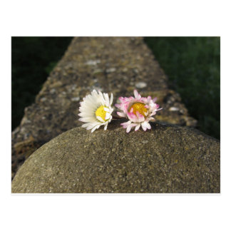Two white daisies lying on the stone at sunset postcard