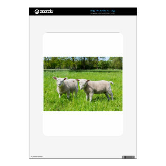 Two white dutch sheep in green spring meadow iPad decal
