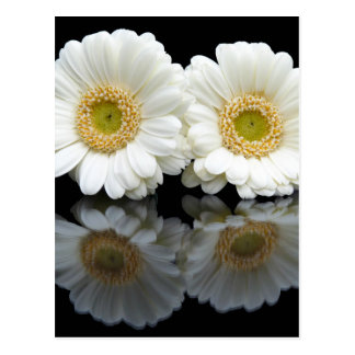 Two white gerberas with mirror image on black postcard