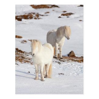 Two White Icelandic Horses Postcard