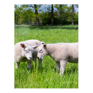 Two white lambs playing together in green meadow postcard