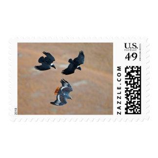 Two White-Necked Ravens Chase Jackal Buzzard Postage