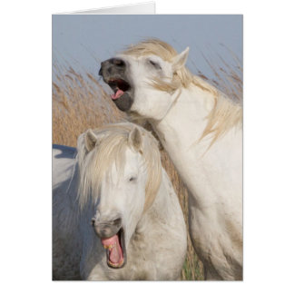 Two White Stallions Yawn Horse Greeting Card