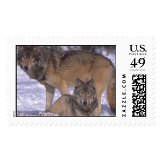 Two wolves postage
