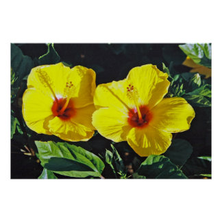 Two Yellow Hibiscus Poster