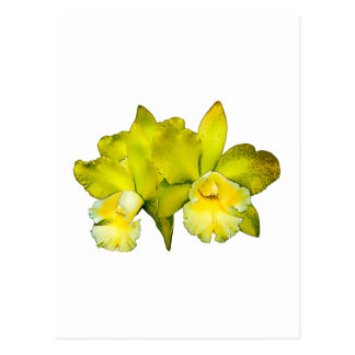 Two Yellow Orchids Postcard
