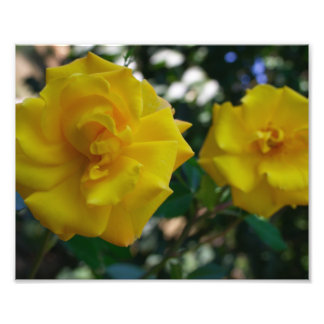 Two Yellow Roses with Leaves - flower photography Photo Print
