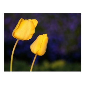 Two Yellow Tuilps Postcard