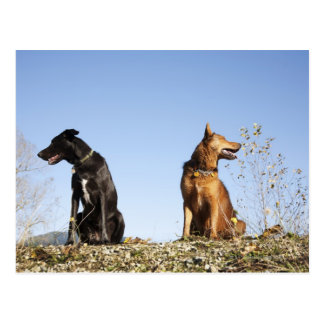 Two young dogs looking in opposite directions. postcard