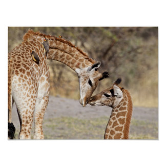 Two Young Giraffes Poster