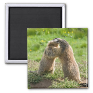 two young marmots magnet