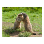 two young marmots post card