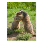 two young marmots postcard